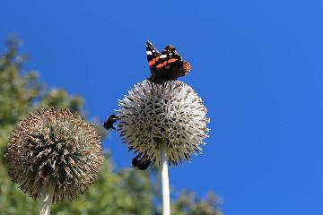 Echinops_exaltatus_-_GBA_Viote_1_thumb