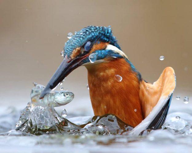 un martin pescatore ritratto nella natura